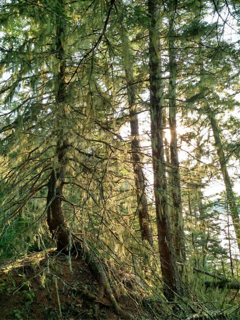 Fruiticose Lichen