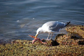 Sea Gull's Dinner by Gary Smith